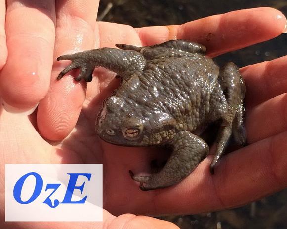 Erdkröten in unserem Teich